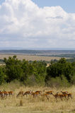 Gazelles Fotografie Stock Libere da Diritti