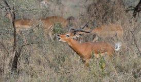 Gazelles Image stock