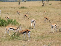 Gazelles Photo stock