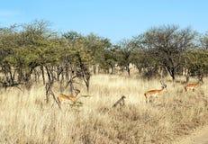 gazelles Royalty-vrije Stock Afbeeldingen