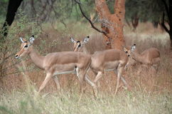 Gazelles in Africa Royalty Free Stock Photography