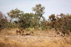 Gazelles africaines photos stock