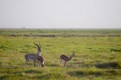 Gazelles, Amboseli Immagini Stock Libere da Diritti