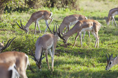 Gazelles in Amboseli, Kenya Royalty Free Stock Photography