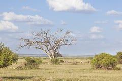 Gazelles in Amboseli, Kenya Stock Images
