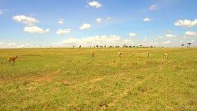 Gazelles of antilopen die in savanne in Afrika weiden stock video