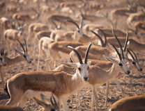 Gazelles. Arabian Wildlife in natural habitat Stock Images