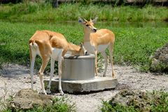 Gazelles : Boire du puits images libres de droits