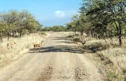 Gazelles dans la route Images libres de droits