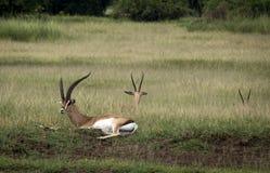 Gazelles dans la savane photos stock