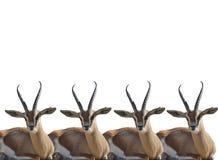 Gazelles de Thompson fotografia de stock royalty free