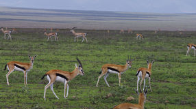 Gazelles de Thompson en plaines de Serengeti Photographie stock