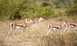 Gazelles de Thomson Foto de Stock