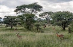 Gazelles de weiden royalty-vrije stock foto