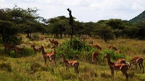 Gazelles del Grant Immagini Stock
