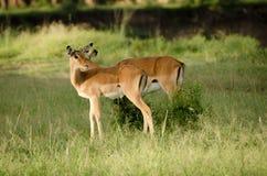 Gazelles del Thomson immagine stock