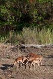 Gazelles di Grantâs che si alimentano nei cespugli Immagini Stock Libere da Diritti