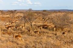 Gazelles di Grantâs nei cespugli Fotografia Stock Libera da Diritti
