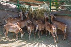 Gazelles-dorkas ερήμων κατά τη διάρκεια των τροφίμων σε έναν ζωολογικό κήπο της Βαρκελώνης, Ισπανία Στοκ Φωτογραφίες