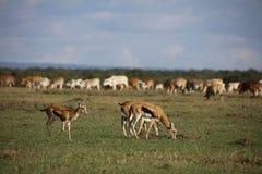 Gazelles du ` s de Thomson frôlant avec des bétail Images libres de droits