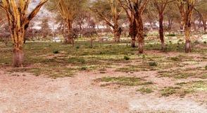 Gazelles eating Royalty Free Stock Photos