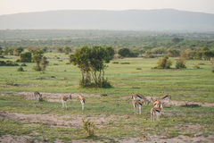 Gazelles in the field Stock Image