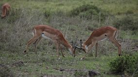 Gazelles fight in savanna stock video