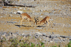 Gazelles fighting stock photography