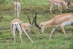 Gazelles fighting Stock Image
