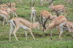Gazelles fighting Royalty Free Stock Photo