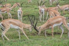 Gazelles fighting Royalty Free Stock Photos