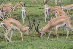 Gazelles fighting Royalty Free Stock Photography