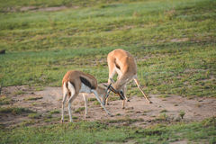 Gazelles fighting. Two young gazelles fighting for fun and practice Royalty Free Stock Photo