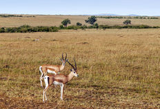 Gazelles Stock Photos