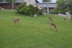 Gazelles. Giraffes  on natural park Zoom Turin Stock Photos