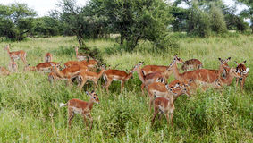 Gazelles the grasslands Stock Photos
