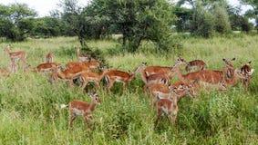 Gazelles the grasslands Stock Photos