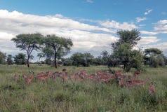 Gazelles the grasslands Stock Photo