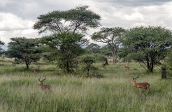 Gazelles the grasslands Royalty Free Stock Photo