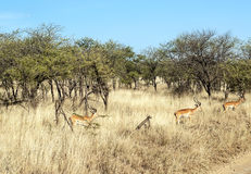 Gazelles Royalty Free Stock Images