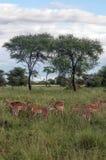 Gazelles the grasslands Royalty Free Stock Photo