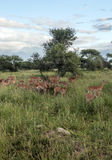 Gazelles the grasslands Stock Image