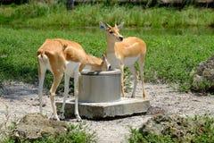 Gazelles: Het drinken van de put