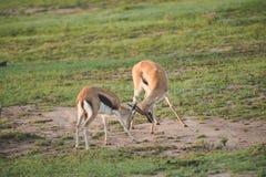 Gazelles het vechten Royalty-vrije Stock Foto