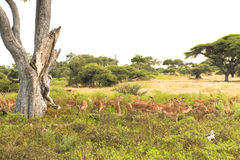 Gazelles  - Impalas Royalty Free Stock Photo