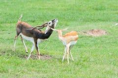 Gazelles masculines et femelles du ` s de Grant dans le comportement d'élevage Image libre de droits