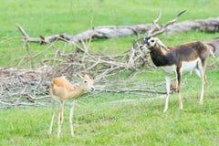 Gazelles masculines et femelles du ` s de Grant dans le comportement d'élevage Photos libres de droits