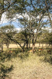 Gazelles in meadows of Tanzania Stock Photography