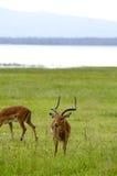 Gazelles Nakuru Royaltyfri Fotografi