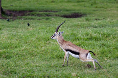 Gazelles, Nakuru Stock Images
